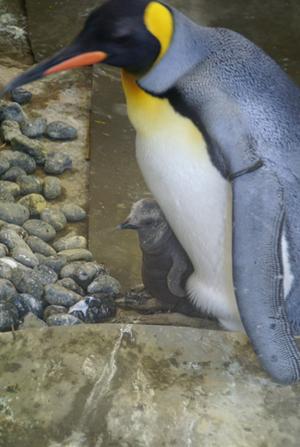 オウサマペンギンの雛