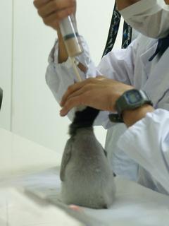 エンペラーペンギンのひな