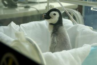 皇帝ペンギンの雛