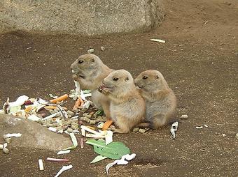 プレーリードックの赤ちゃんたち
