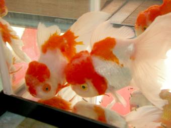 おおきな金魚