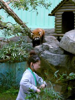 レッサーパンダのおはなし