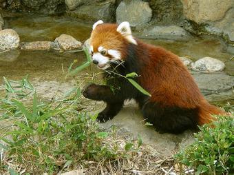 竹を食べるユウユウさん
