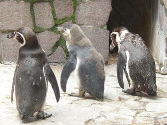 フンボルトペンギンの雛