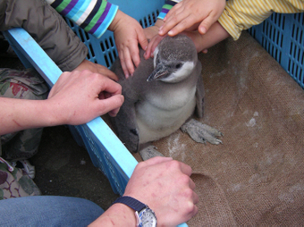 フンボルトペンギンの赤ちゃん