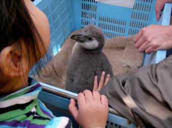 ペンギンの雛にタッチ