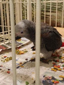 ヨウムの幼鳥