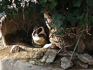 ペンギンの抱卵