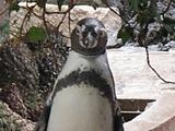 江戸川区自然動物園フンボルトペンギン