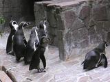 フンボルトペンギンくん