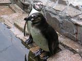 penguin050611