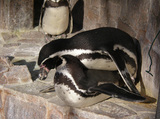フンボルトペンギンの交尾シーン
