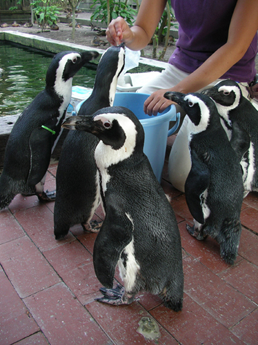 ペンギンエサやりタイム