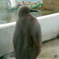 キングペンギンの雛