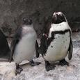 ケープペンギンの親子