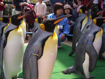 キングペンギンのパレード