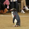 マカロニペンギンのドリーちゃん