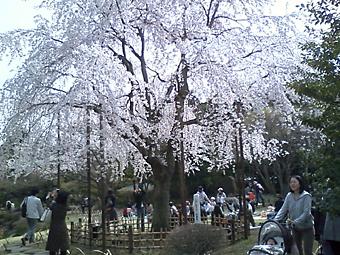 平成庭園の枝垂れ桜