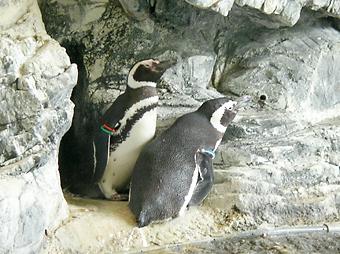 Magellanic Penguin