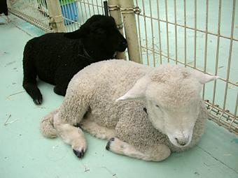 白黒子羊ちゃん