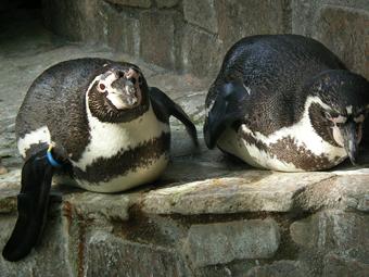 ペンギン_4