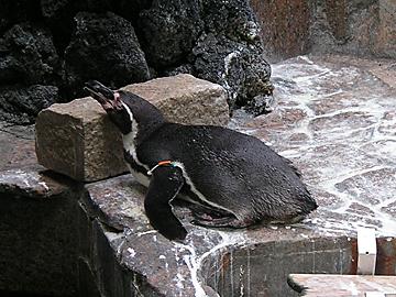 お昼寝ペンギン